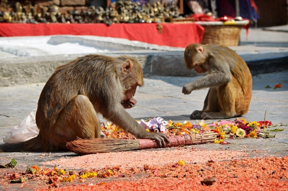 обезьяны в храме Сваямбунатх