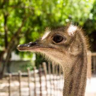 Ostrich Farm «Omsk Ostrich»