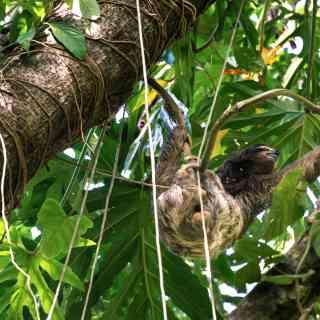 Ленивый обитатель джунглей Коста-Рики.