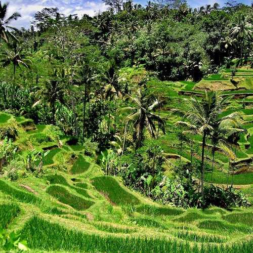 Рисовые поля индонезийского острова Бали.
