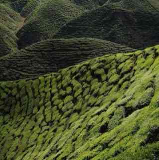 Чайные плантации до горизонта в Камеронских нагорьях.