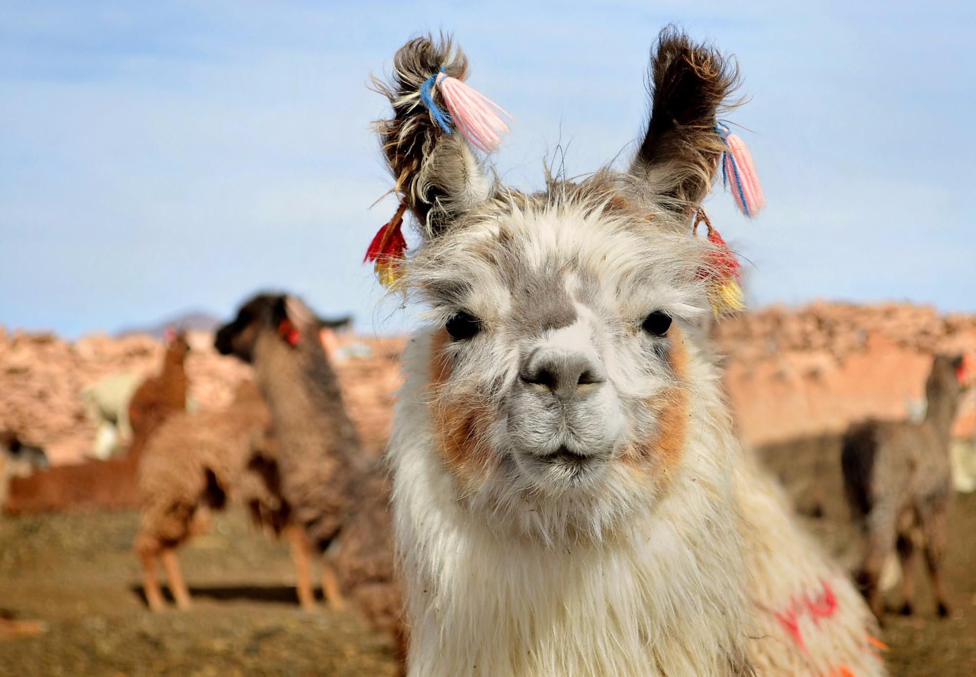 Красотка-лама с перуанских просторов.