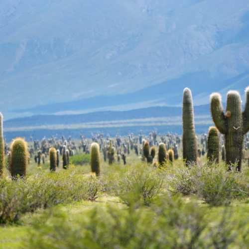 Веселые кактусы бескрайних равнин северо-запада Аргентины.