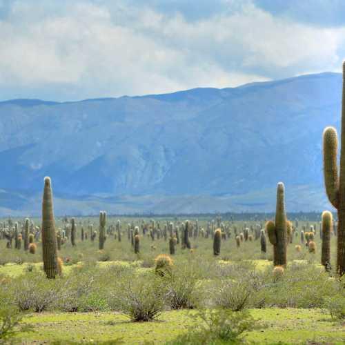 Долина кактусов недалеко от аргентинского города Сальта.