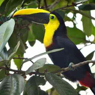 Тукан в джунглях национального парка Миндо в Эквадоре.