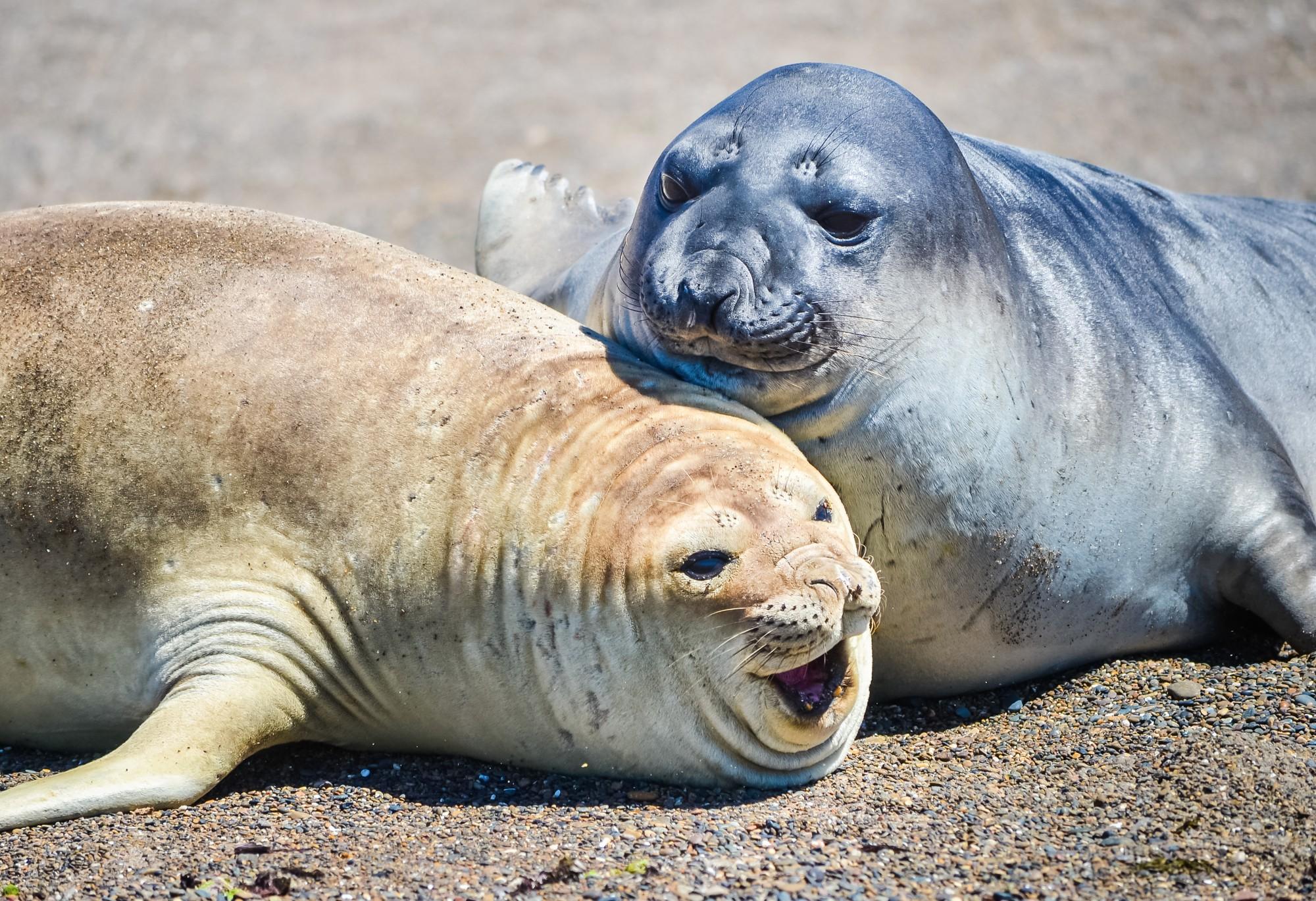 Любовь морских слонов на пляже в Патагонии.