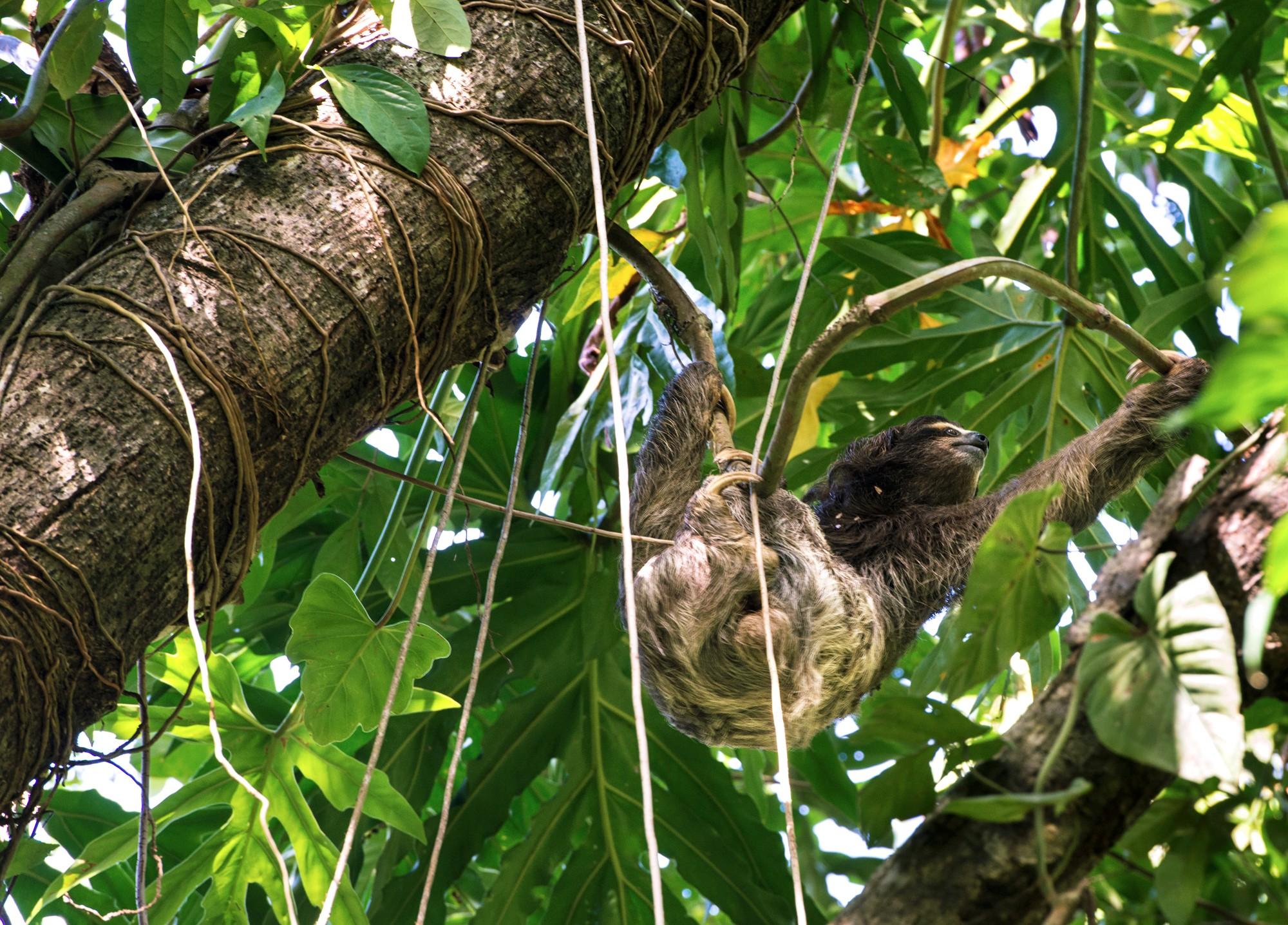 Ленивец в национальном парке недалеко от городка Кауита в Коста-Рике.