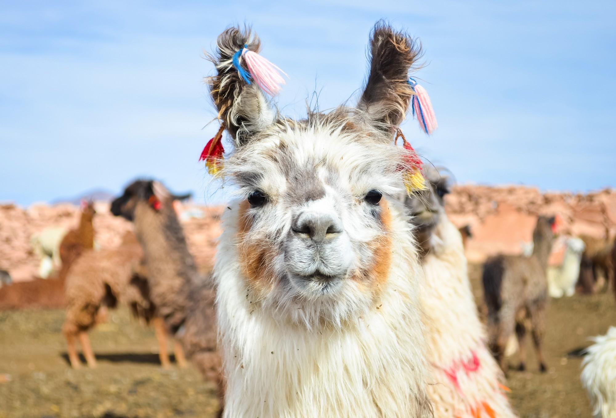 Улыбающаяся лама с плато Альтиплано в Боливии.