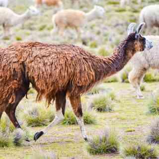 Стадо лам где-то в Перу.