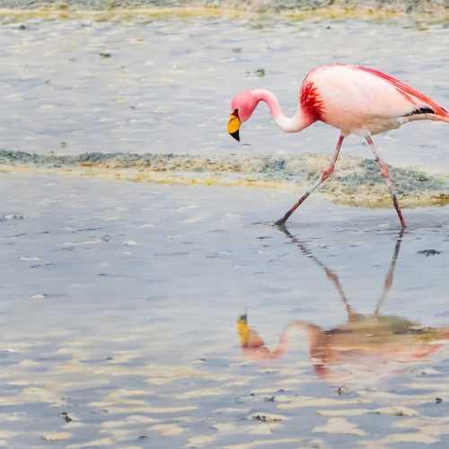 Розовый фламинго гуляет где-то по просторам боливийских соляных лагун.