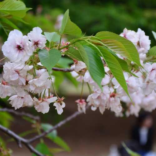 Цветение сакуры в Токио