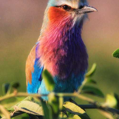 Lialaq Crested Roller
