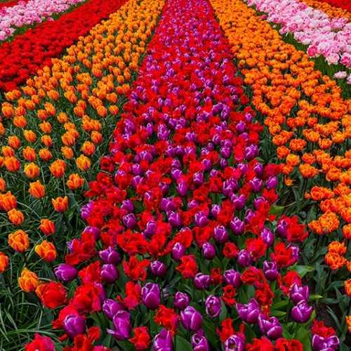 Tulpenbeete, Keukenhof
