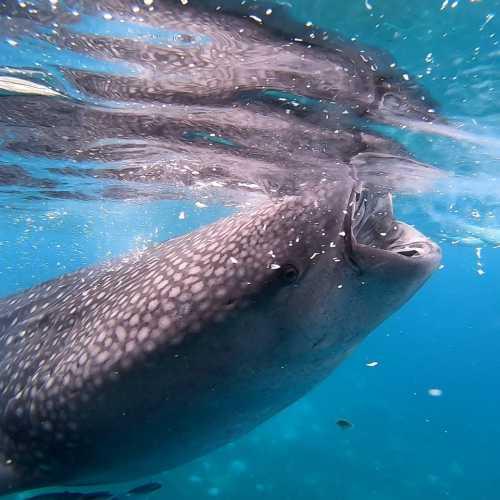 Oslob whale watching, Филиппины