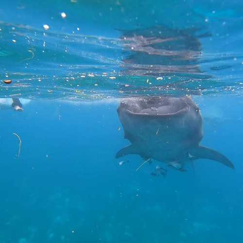 Oslob whale watching, Philippines