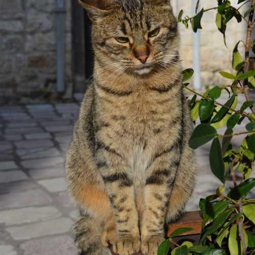 Которский кот
