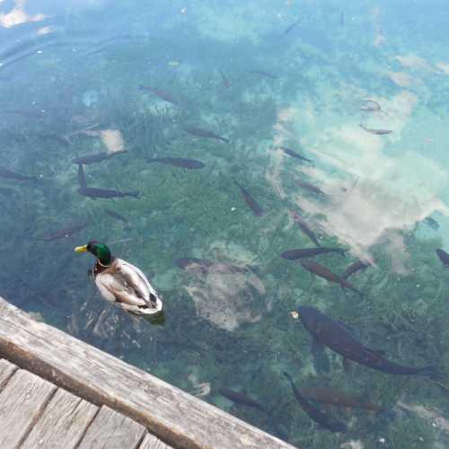 Вода в Плитвицких озерах чистейшая. У плавающих уточек видны даже красные ножки, а рыбы хвастаются перед нами своими цветными плавниками.
