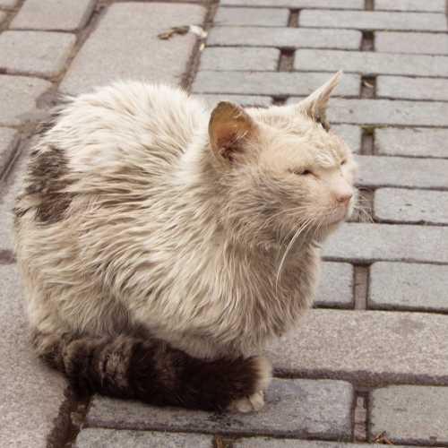Стамбульская кошка