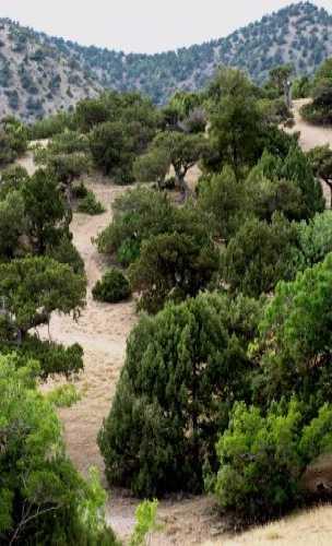 Relict juniper grove, Crimea