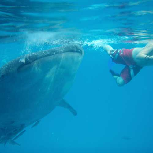 Купание с китовыми акулами на острове Себу в местечке Ослоб
