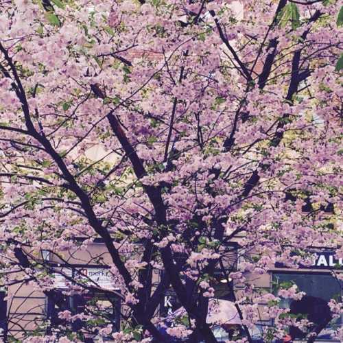 Цветущая сакура стала для меня символом милого Хельсинки