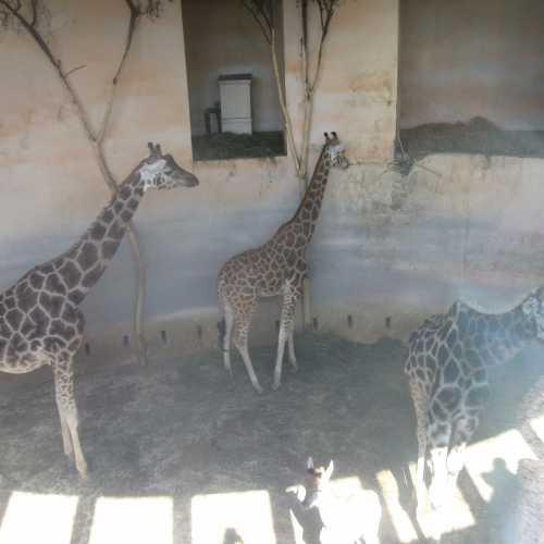 первый день жизни жирафенка....)