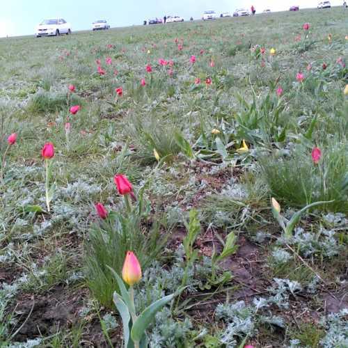 цветение тюльпанов в степи