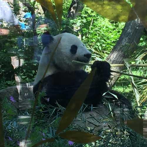Панда в самом старом зоопарке мира — Зоопарк Вены