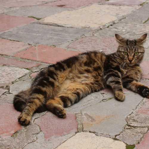 Кот из Котора