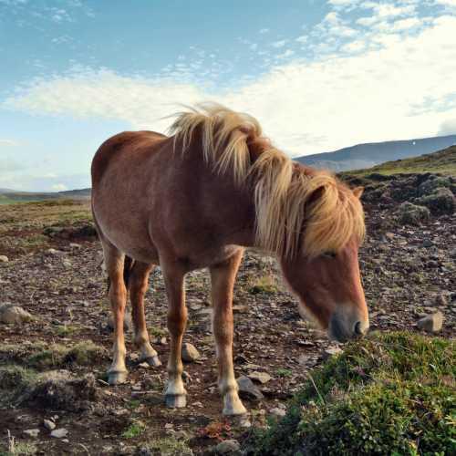 Lava horse. Iceland