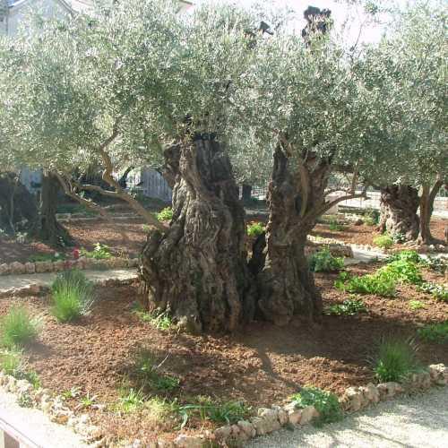Иерусалим. Гефсиманский сад.