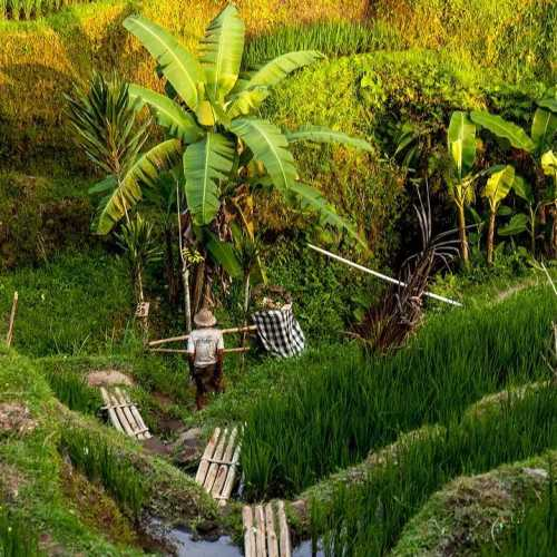 Земледелие на Бали rice #рис #бали