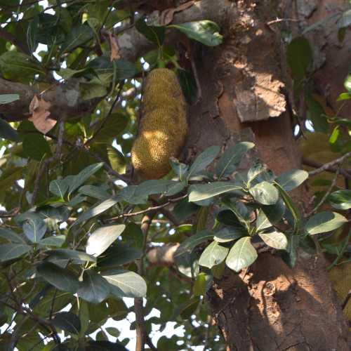 ГОА. Плод хлебного дерева