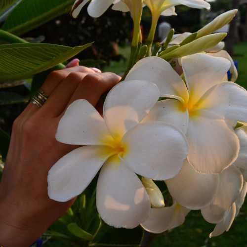 Индия. Прекрасные цветы, но там они почему-то называют их жасмином