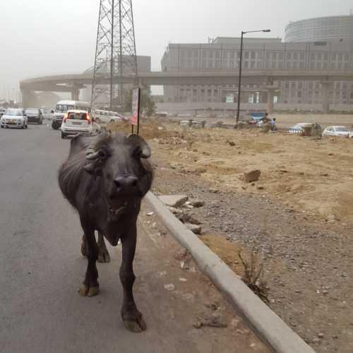 Священные животные в Гургаоне