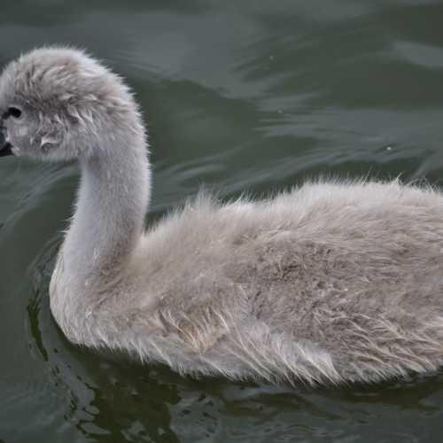 Малыш-лебедь на озере