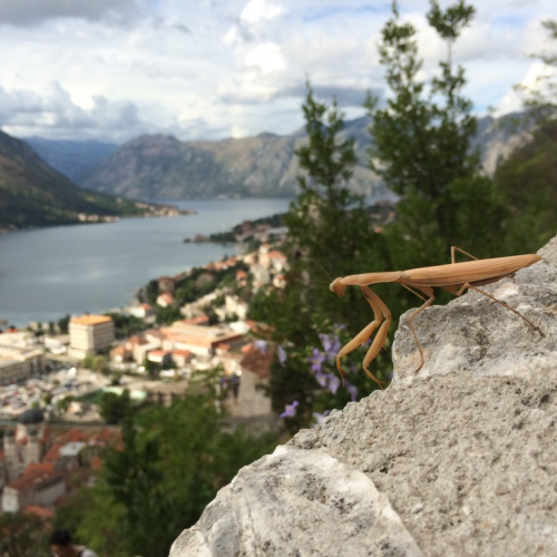 Mantis) on the city walls of Kotor