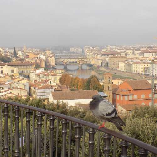 Флорентийский голубь