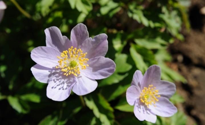 Van Dusen Garden -весенние цветочки