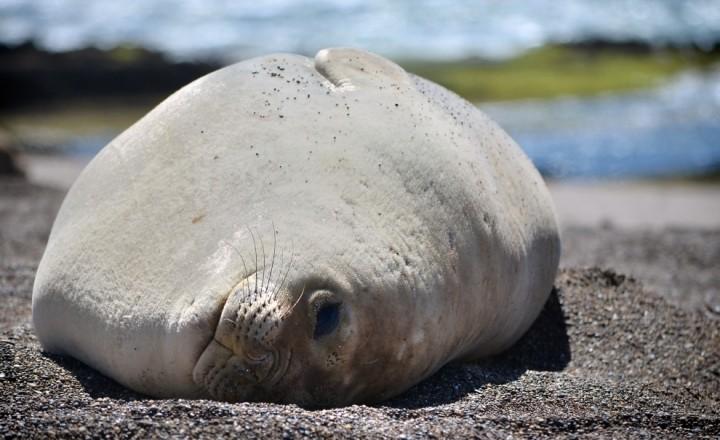 Морские слоны или Как тюленить правильно!